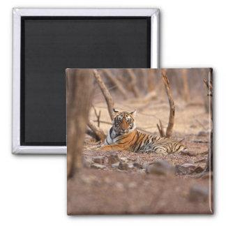 Royal Bengal Tiger, Ranthambhor National Park, Magnet