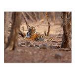 Royal Bengal Tiger, Ranthambhor National Park, Postcard