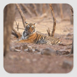 Royal Bengal Tiger, Ranthambhor National Park, Square Sticker