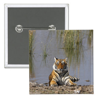 Royal Bengal Tiger sitting in the Rajbagh Lake, Button