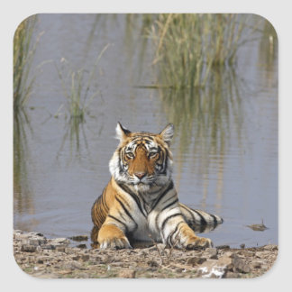 Royal Bengal Tiger sitting in the Rajbagh Lake Square Sticker