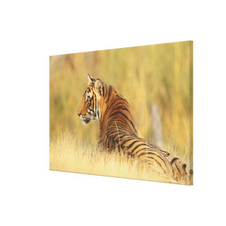 Royal Bengal Tiger sitting outside grassland, 2 Gallery Wrapped Canvas