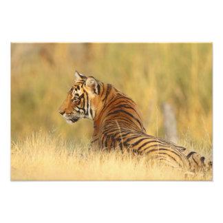 Royal Bengal Tiger sitting outside grassland, 2 Photo