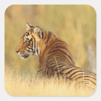 Royal Bengal Tiger sitting outside grassland 2 Square Sticker