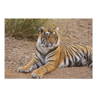 Royal Bengal Tiger sitting outside grassland, 3 Photo Print