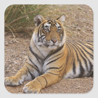 Royal Bengal Tiger sitting outside grassland 3 Square Stickers