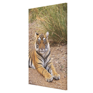 Royal bengal Tiger sitting outside grassland, Stretched Canvas Print