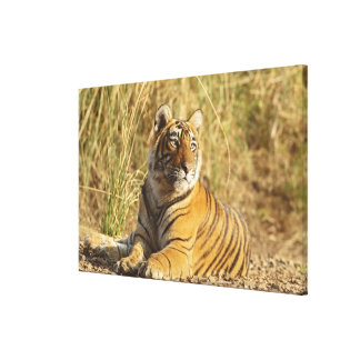 Royal Bengal Tiger sitting outside grassland, Gallery Wrapped Canvas