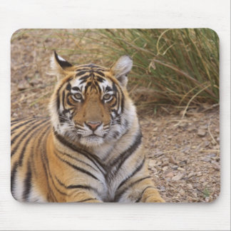Royal bengal Tiger sitting outside grassland, Mouse Pad
