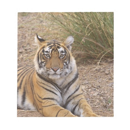 Royal bengal Tiger sitting outside grassland, Scratch Pad