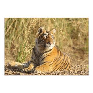 Royal Bengal Tiger sitting outside grassland, Art Photo