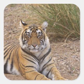 Royal bengal Tiger sitting outside grassland Sticker