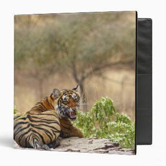 Royal Bengal Tiger snarling, Ranthambhor Binder