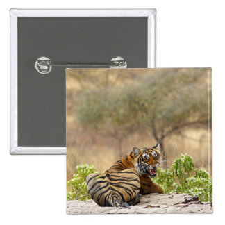 Royal Bengal Tiger snarling, Ranthambhor Pinback Button