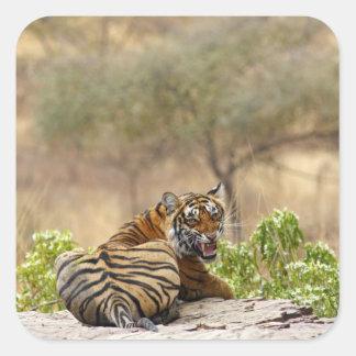 Royal Bengal Tiger snarling Ranthambhor Square Sticker