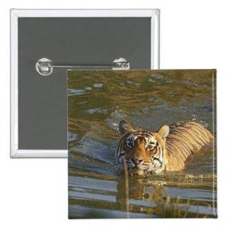 Royal Bengal Tiger swiming, Ranthambhor Button