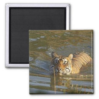Royal Bengal Tiger swiming, Ranthambhor Magnet