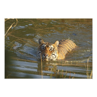 Royal Bengal Tiger swiming, Ranthambhor Photo Art