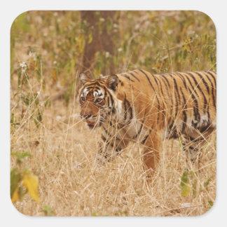 Royal Bengal Tiger walking around the bush, Square Sticker