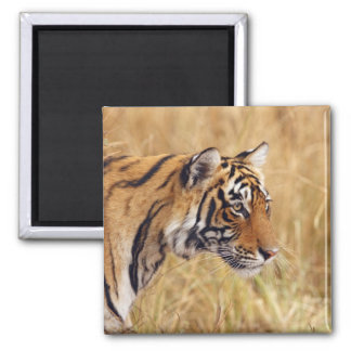 Royal Bengal Tiger watching from the 2 2 Inch Square Magnet