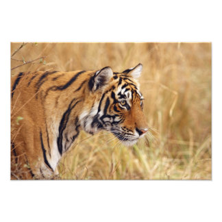 Royal Bengal Tiger watching from the 2 Photographic Print