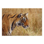 Royal Bengal Tiger watching from the 2 Print