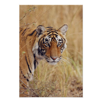 Royal Bengal Tiger watching from the Poster