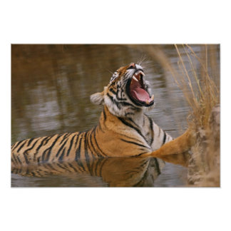 Royal Bengal Tiger yawning in the jungle pond, Poster