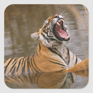 Royal Bengal Tiger yawning in the jungle pond Square Sticker