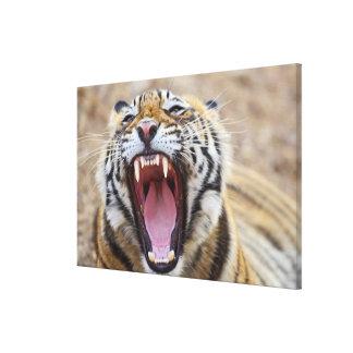 Royal Bengal Tiger yawning; Ranthambhor Canvas Print
