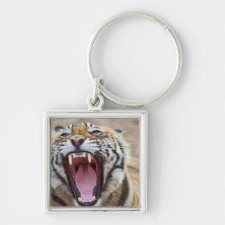 Royal Bengal Tiger yawning; Ranthambhor Keychain
