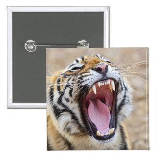 Royal Bengal Tiger yawning, Ranthambhor National Pinback Button