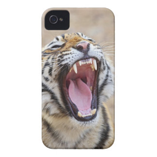 Royal Bengal Tiger yawning, Ranthambhor National iPhone 4 Case