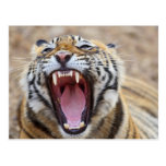 Royal Bengal Tiger yawning; Ranthambhor Postcards