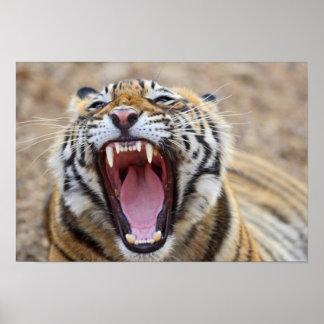 Royal Bengal Tiger yawning; Ranthambhor Poster