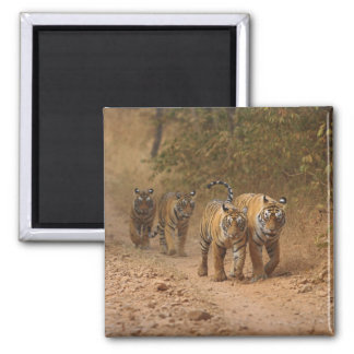 Royal Bengal Tigers on the move, Ranthambhor 2 Inch Square Magnet