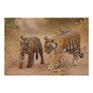 Royal Bengal Tigers on the move, Ranthambhor 2 Poster
