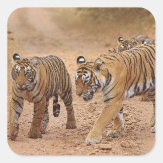 Royal Bengal Tigers on the move Ranthambhor 2 Sticker