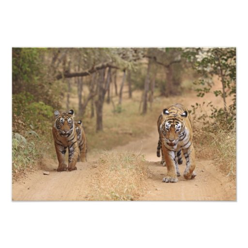 Royal Bengal Tigers on the track, Ranthambhor 2 Photo Art