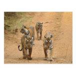 Royal Bengal Tigers on the track, Ranthambhor 2 Post Card