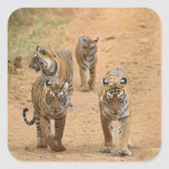 Royal Bengal Tigers on the track, Ranthambhor 2 Square Stickers