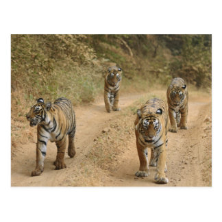 Royal Bengal Tigers on the track, Ranthambhor 4 Postcard