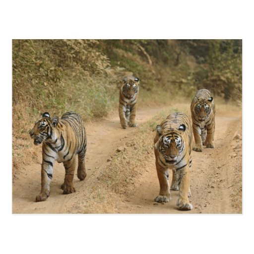 Royal Bengal Tigers on the track, Ranthambhor 4 Post Cards