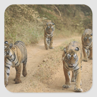 Royal Bengal Tigers on the track Ranthambhor 4 Stickers