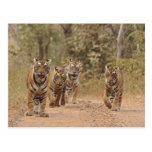 Royal Bengal Tigers on the track, Ranthambhor 6 Postcard