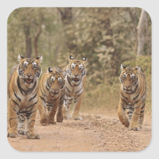 Royal Bengal Tigers on the track Ranthambhor 6 Square Sticker