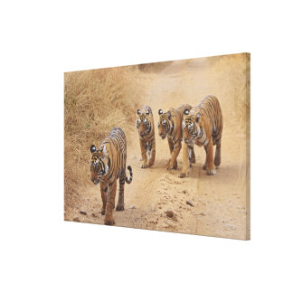 Royal Bengal Tigers on the track, Ranthambhor 7 Canvas Print