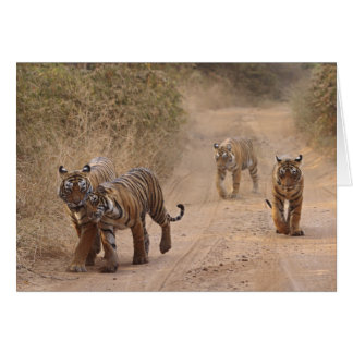 Royal Bengal Tigers on the track, Ranthambhor 7 Card