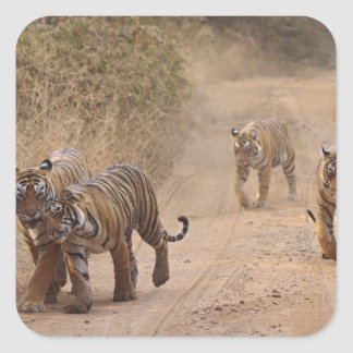 Royal Bengal Tigers on the track Ranthambhor 7 Square Stickers