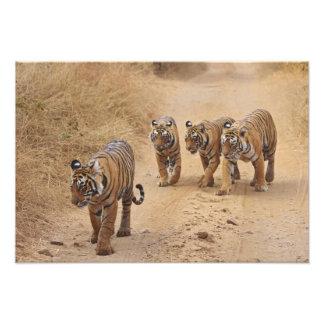 Royal Bengal Tigers on the track, Ranthambhor 8 Photo Print